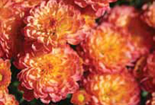 Garden Mums Masterpiece Flower Company Commercial