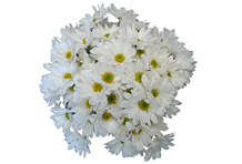 White Dutch Chrysanthemum